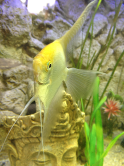 Angelfish Information Care Breeding Sexing And More